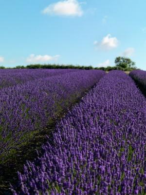 wpid5174-Hitchin-Lavender-GHLA017-nicola-stocken.jpg