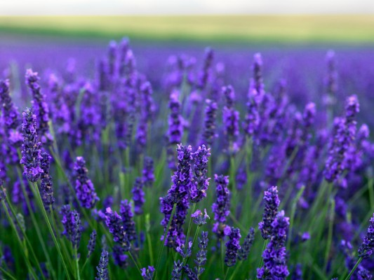 wpid5176-Hitchin-Lavender-GHLA019-nicola-stocken.jpg