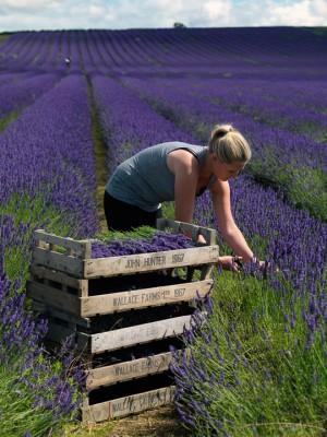 wpid5178-Hitchin-Lavender-GHLA020-nicola-stocken.jpg