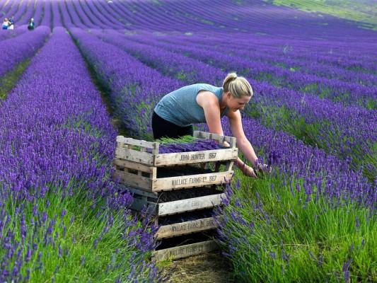 wpid5180-Hitchin-Lavender-GHLA021-nicola-stocken.jpg