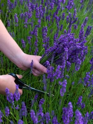 wpid5182-Hitchin-Lavender-GHLA022-nicola-stocken.jpg