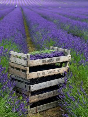 wpid5184-Hitchin-Lavender-GHLA024-nicola-stocken.jpg