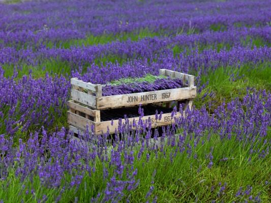 wpid5186-Hitchin-Lavender-GHLA025-nicola-stocken.jpg