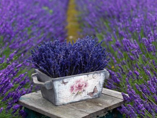 wpid5188-Hitchin-Lavender-GHLA026-nicola-stocken.jpg