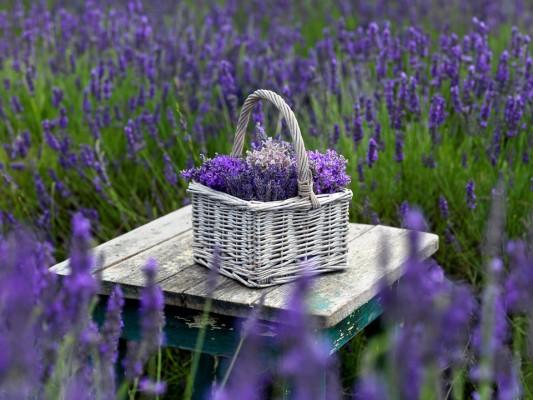 wpid5190-Hitchin-Lavender-GHLA027-nicola-stocken.jpg