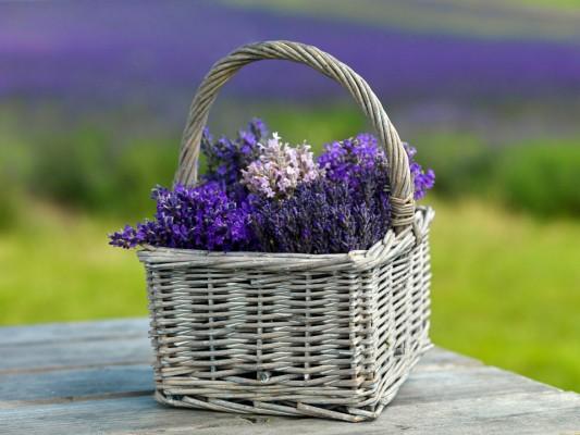 wpid5192-Hitchin-Lavender-GHLA028-nicola-stocken.jpg