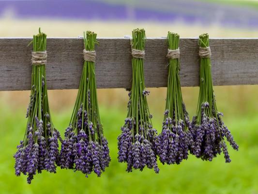 wpid5194-Hitchin-Lavender-GHLA029-nicola-stocken.jpg