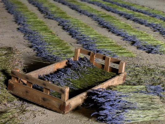 wpid5200-Hitchin-Lavender-GHLA033-nicola-stocken.jpg