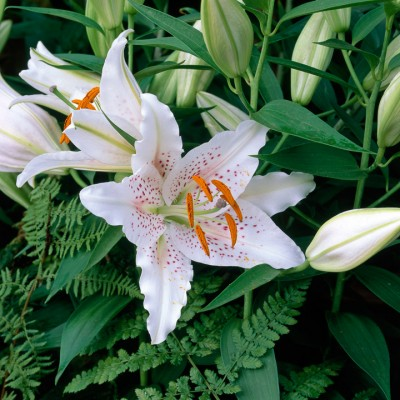 wpid5622-Lily-Plant-Profile-BLIL016-nicola-stocken.jpg