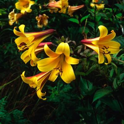 wpid5628-Lily-Plant-Profile-BLIL098-nicola-stocken.jpg