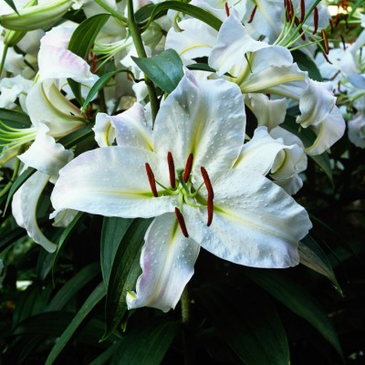 wpid5632-Lily-Plant-Profile-BLIL102-nicola-stocken.jpg