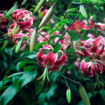 wpid5634-Lily-Plant-Profile-BLIL105-nicola-stocken.jpg