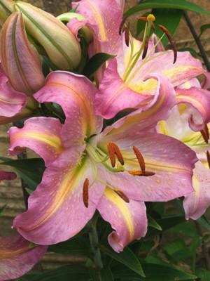 wpid5638-Lily-Plant-Profile-BLIL110-nicola-stocken.jpg