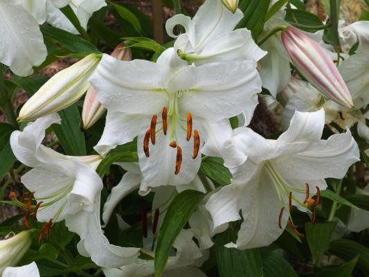 wpid5642-Lily-Plant-Profile-BLIL114-nicola-stocken.jpg