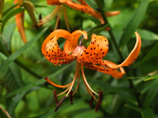 wpid5650-Lily-Plant-Profile-BLIL120-nicola-stocken.jpg
