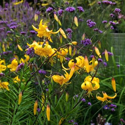 wpid5658-Lily-Plant-Profile-BLIL133-nicola-stocken.jpg