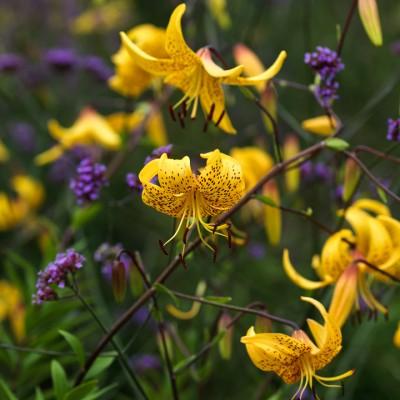 wpid5660-Lily-Plant-Profile-BLIL135-nicola-stocken.jpg