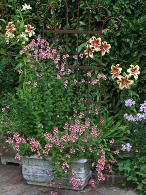 wpid5678-Lily-Plant-Profile-GWAL050-nicola-stocken.jpg