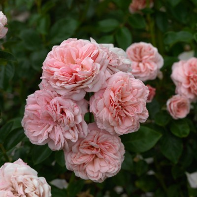 wpid5896-Topiary-Garden-ROSE375-nicola-stocken.jpg