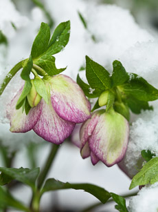 Thumbnail image for Tough Winter Flowers