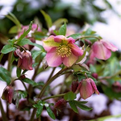 wpid7168-Tough-Winter-Flowers-PHEL187-nicola-stocken.jpg