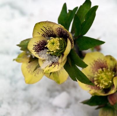 wpid7176-Tough-Winter-Flowers-PHEL272-nicola-stocken.jpg