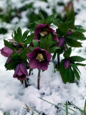 wpid7182-Tough-Winter-Flowers-PHEL279-nicola-stocken.jpg