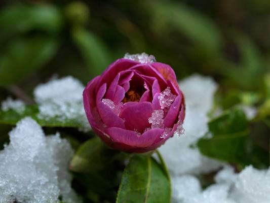 wpid7184-Tough-Winter-Flowers-SCAM075-nicola-stocken.jpg