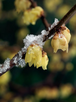 wpid7186-Tough-Winter-Flowers-SCHI004-nicola-stocken.jpg