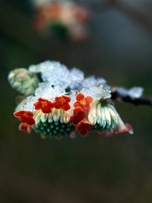 wpid7192-Tough-Winter-Flowers-SEDG002-nicola-stocken.jpg