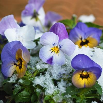 wpid7226-Tough-Winter-Flowers-XVIO015-nicola-stocken.jpg