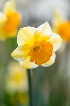 Thumbnail image for Daffodil Plant Profile