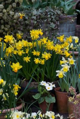 wpid7642-Daffodil-Plant-Profile-ACON575-nicola-stocken.jpg