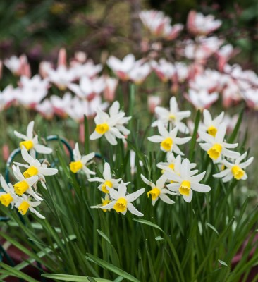 wpid7646-Daffodil-Plant-Profile-ACON644-nicola-stocken.jpg