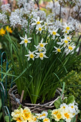 wpid7648-Daffodil-Plant-Profile-ACON645-nicola-stocken.jpg