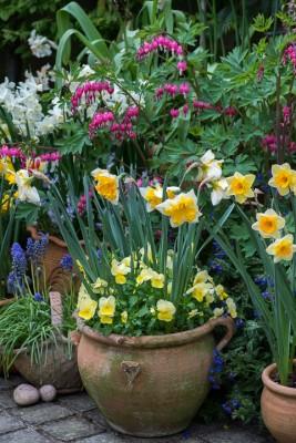 wpid7654-Daffodil-Plant-Profile-ACON664-nicola-stocken.jpg