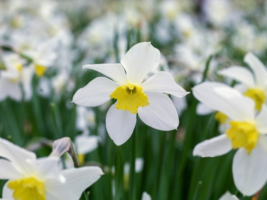wpid7658-Daffodil-Plant-Profile-BNAR085-nicola-stocken.jpg