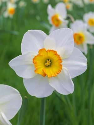 wpid7660-Daffodil-Plant-Profile-BNAR087-nicola-stocken.jpg