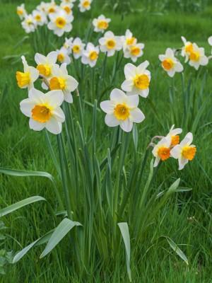 wpid7662-Daffodil-Plant-Profile-BNAR089-nicola-stocken.jpg
