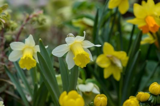 wpid7670-Daffodil-Plant-Profile-BNAR107-nicola-stocken.jpg
