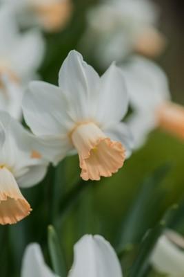 wpid7674-Daffodil-Plant-Profile-BNAR121-nicola-stocken.jpg