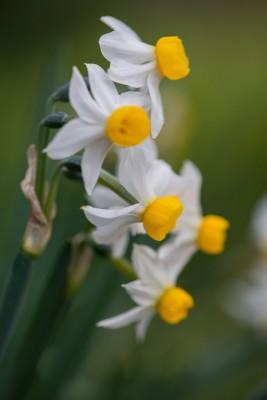 wpid7676-Daffodil-Plant-Profile-BNAR125-nicola-stocken.jpg