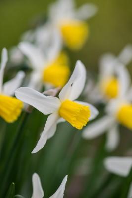 wpid7680-Daffodil-Plant-Profile-BNAR129-nicola-stocken.jpg