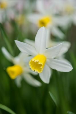 wpid7682-Daffodil-Plant-Profile-BNAR130-nicola-stocken.jpg