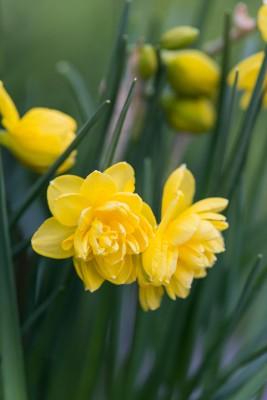 wpid7686-Daffodil-Plant-Profile-BNAR134-nicola-stocken.jpg