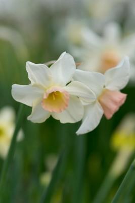 wpid7690-Daffodil-Plant-Profile-BNAR138-nicola-stocken.jpg