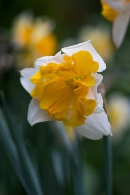 wpid7696-Daffodil-Plant-Profile-BNAR143-nicola-stocken.jpg