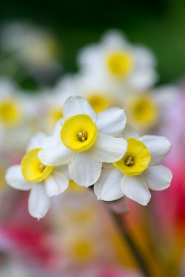 wpid7700-Daffodil-Plant-Profile-BNAR147-nicola-stocken.jpg