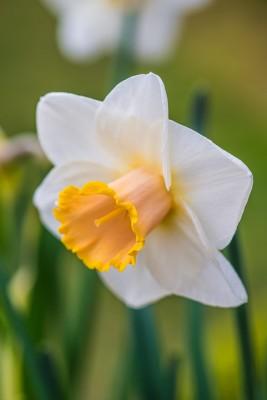 wpid7702-Daffodil-Plant-Profile-BNAR149-nicola-stocken.jpg