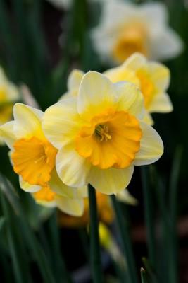wpid7704-Daffodil-Plant-Profile-BNAR151-nicola-stocken.jpg